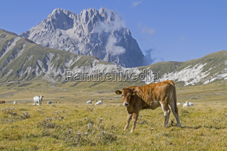 cow on the campo imperatore in