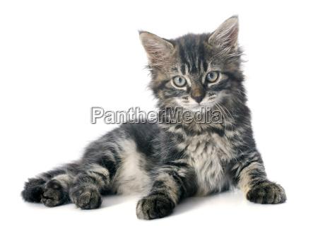 gray, kitten - 10298773