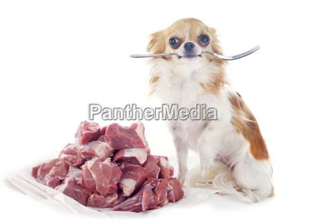 hungry, chihuahua - 10298849