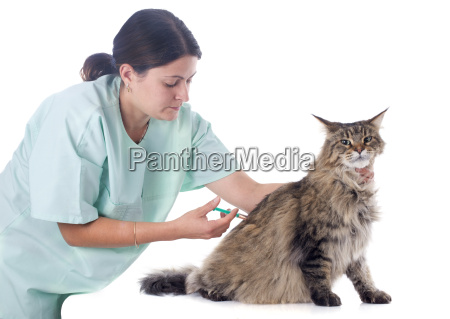 maine, coon, and, vet - 10298663