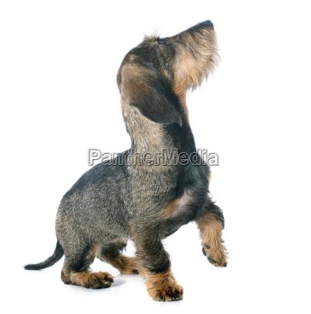 puppy, wire, haired, dachshund - 10298779