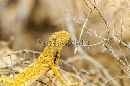 yellow lizard closeup
