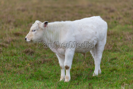 a calf 3