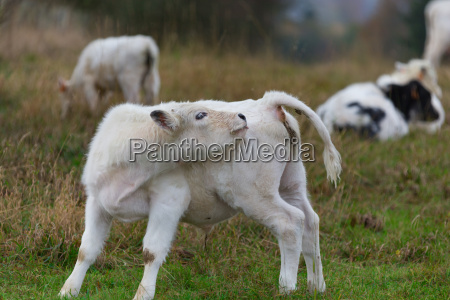 a calf 4