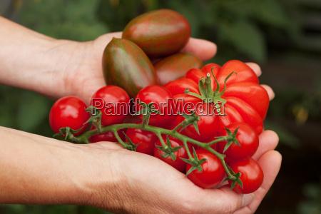 tomato hand full