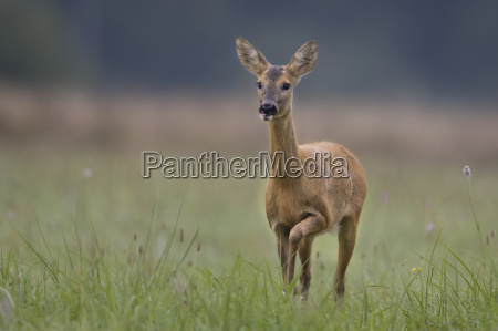 roe-deer, in, the, wild, in, the, clearing. - 10327147