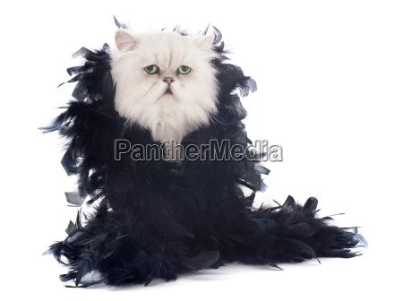 white, persian, cat, and, boa - 10336451