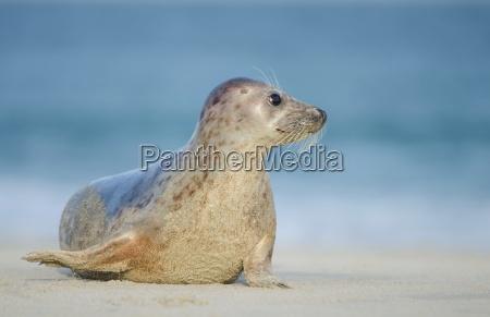 seal on the north coast