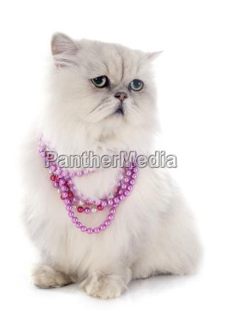 white, persian, cat - 10387335