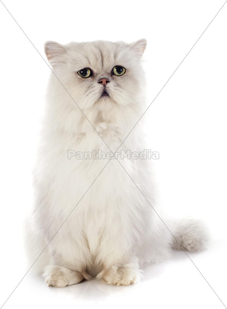 white, persian, cat - 10387355