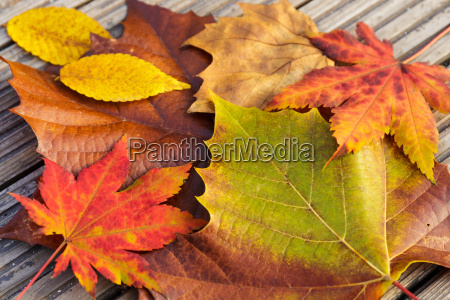 maple leave during autumn season