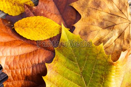 maple leave in autumn