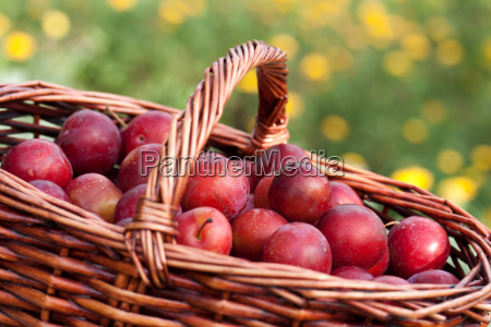 freshly harvested yellow plums