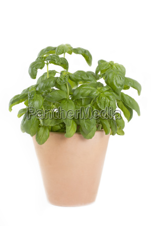 basil in a clay pot on