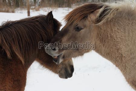 bracing horse in winter