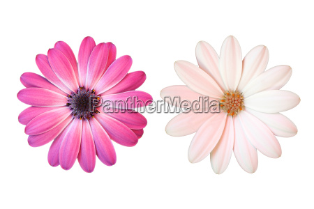 pink and white daisies on white