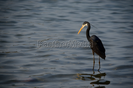 black heron in the sea