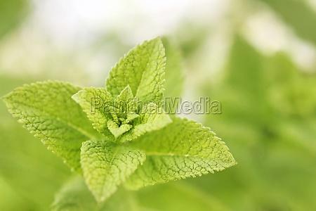 verde sapore limoni melissa citronella pianta