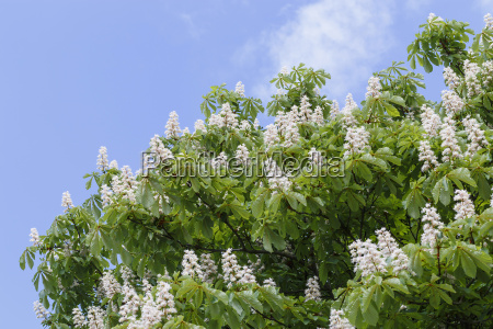 when the chestnut tree blooms