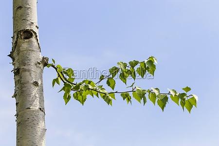 birch leaves against blue sky