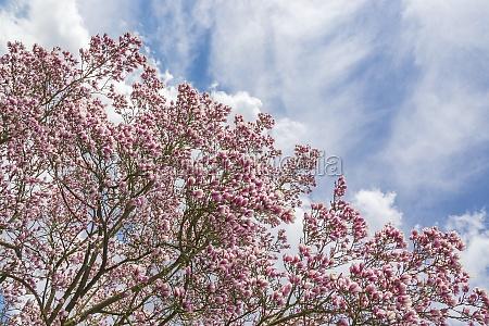 half magnolia half heaven