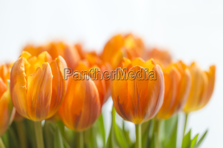 yellow tulips against a white background