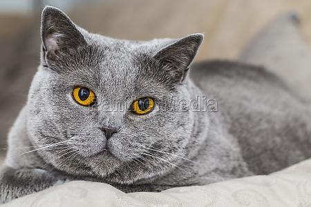 grey cat british shorthair