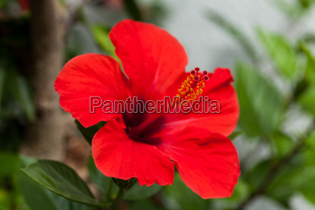 beautiful red hibiscus flower and green