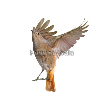 female of redstart bird flying isolated