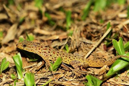 reptile saurian south america venezuela caribbean