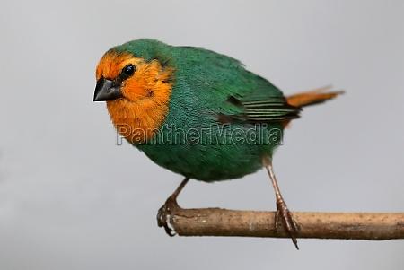 sea green parrot finch