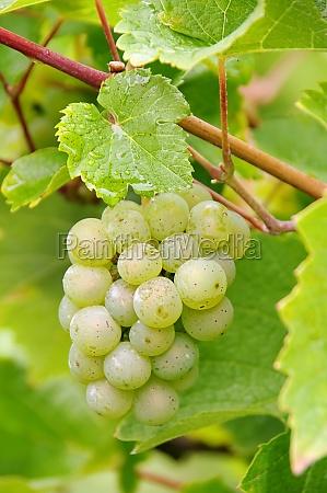 grape white grape white 02