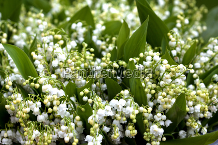 plant flower lily of the valley
