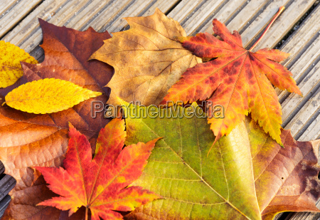 dried maple leave