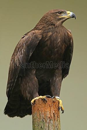 the steppe eagle aquila nipalensis