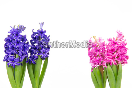 colorful hyacinths 2