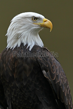 the bald eagle haliaeetus leucocephalus