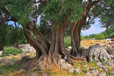 olive tree trunk olive tree