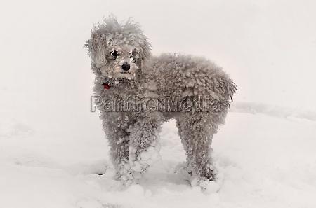 snow balls on the fur of