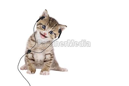 young cat listening music through headphones