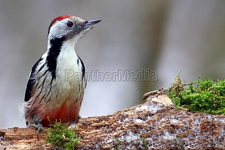 the middle woodpecker dendrocopos medius