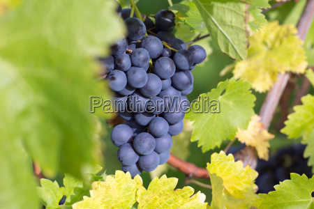 grapes on a vine in autumn