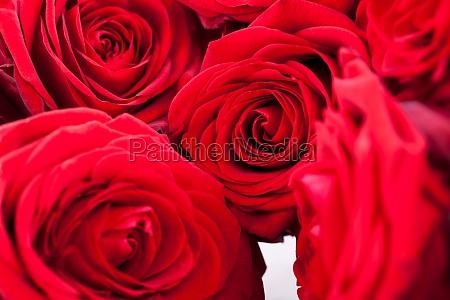 beautiful red rose closeup macro