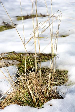 tussock on winterwiese
