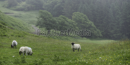 glengorm castle gross britannien highland sheep