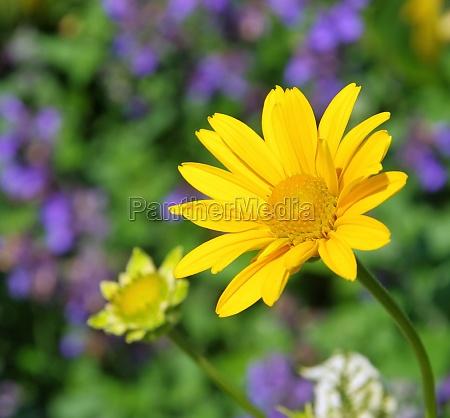 sonnenauge oxeye daisy 04
