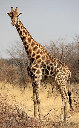 giraffe in mahango game park