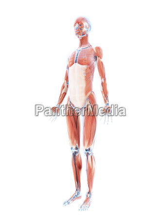3d rendered illustration of the female