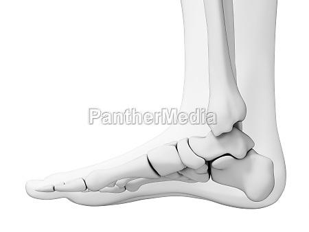 3d rendered illustration skeletal foot