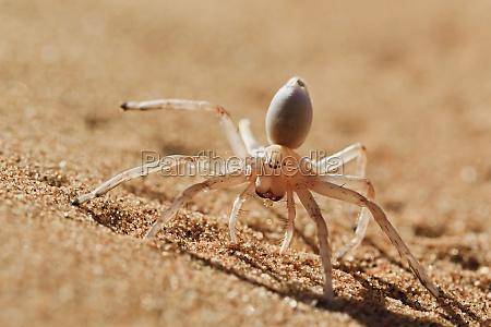 dancing white lady spider carparachne aureoflava